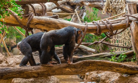 chimpances: Pareja de chimpancés caminando sobre un árbol para cruzar un río