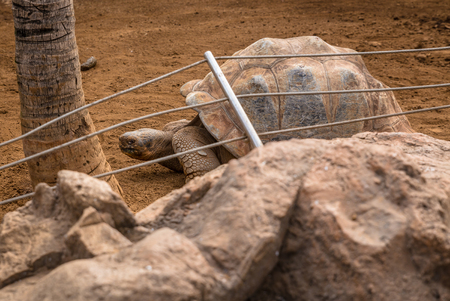 long lived: Giant Galapagos Tortoise, biggest kind on earth, behind rocks  Stock Photo