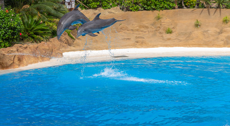 Couple of dolphins doing pirouettes in a park show  photo
