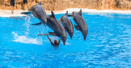 Four dolphins jumping over a stick during a park show Stock Photo - 26548356