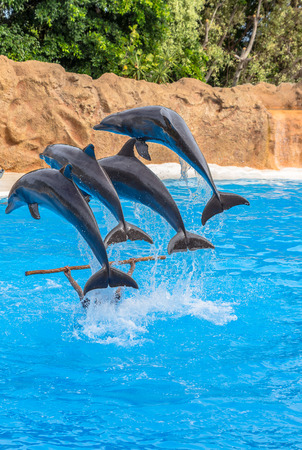 Four dolphins jumping over a stick in a park show  photo