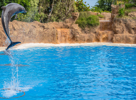 dolphin jumping: Dolphin jumping high during a park show