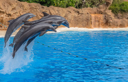Dolphins jumping over a rope during a park show  photo