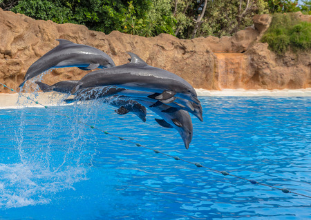 Bunch of dolphins doing jumps during a park show  photo