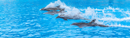 Dolphins swimming in a race across the pool  photo