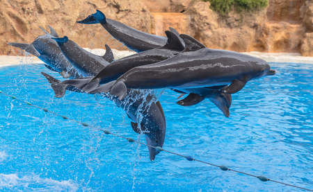 Dolphins suspended in the air in the middle of a jump  photo