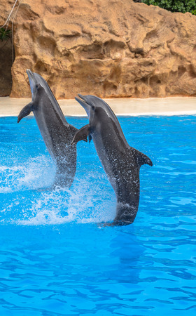 Dolphins performing a tail stand during a park show Stock Photo - 26549372