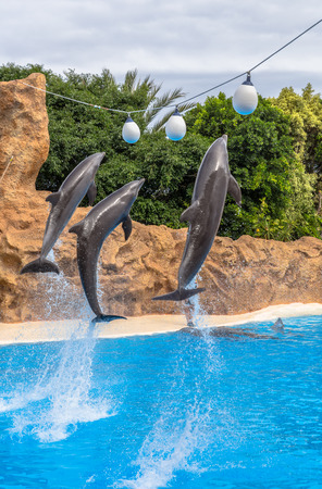 Dolphins jumping to reach balls during a park show  photo