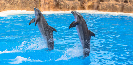 Dolphins performing a tail stand in a pool in a park show  photo