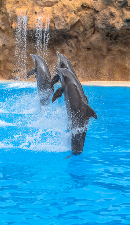 Dolphins racing while doing a tail stand  photo