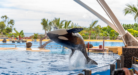 A killer whale performing an acrobatic jump during a show  photo