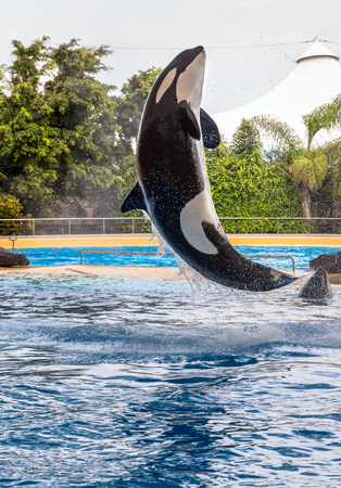 A killer whale raising during a water show  photo
