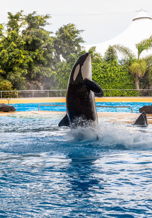 A killer whale getting out of the water during a show  photo