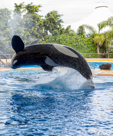 Killer whale performing a pirouette during a water show  photo