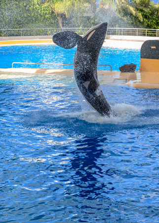 Killer whale splashing water while jumping  photo