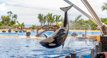 A killer whale performing acrobatic jumps during a show  Stock Photo
