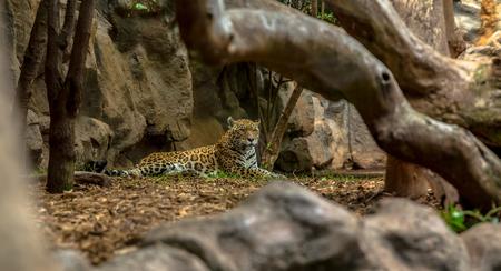 enclosure: Jaguar resting in a zoo enclosure behind trees