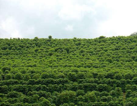 agronomics: coffee plantation