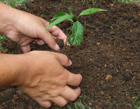 dirty hands: Planting a tree with the dirty hands  Stock Photo