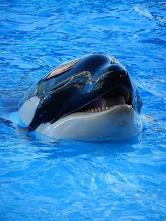 Orca whale Stock Photo - 12865048