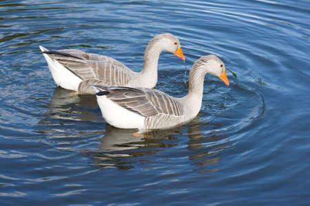 anser: Two greylag geese (Anser Anser) swimming on lake