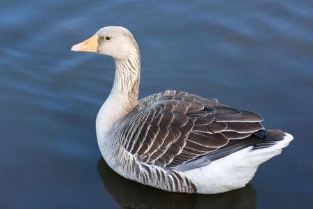 anser: Greylag Goose (Anser Anser) swimming on lake Stock Photo