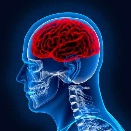 esqueleto humano: Cerebro humano y scull en x-ray