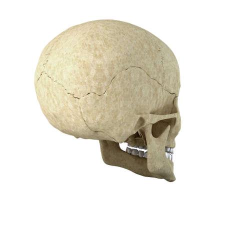 Skull isolated on white background