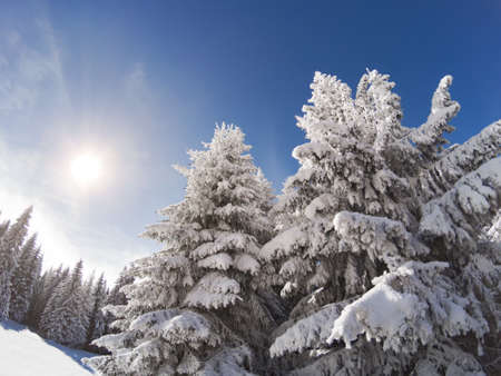 Snow covered and icy spruces on the sun. Winter forest near ski slope. Ski resort