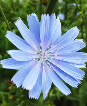 Blue flower of Chicory ordinary in summer day. Stock Photo