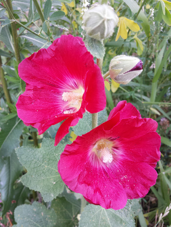Red hollyhock flower on a Sunny summer day