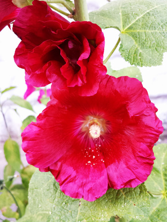 Red hollyhock flower on a Sunny summer day.