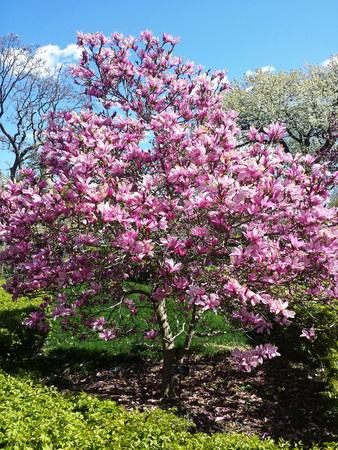 목련 꽃 하늘을 나무에