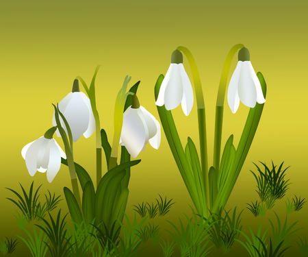 Snowdrops and grass in the background. crocuses. white snowdrops.