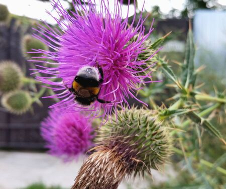 Bumblebee collects pollen from the flower of a Thistle. Bumblebee on a flower.