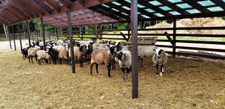 Rebaño de ovejas. Un rebaño de ovejas en el prado.