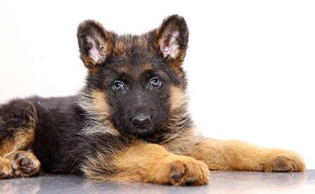 pastor de ovejas: Cachorro de pastor alemán, 1 mes de edad, la mentira de fondo blanco Foto de archivo
