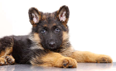 German Shepherd puppy, 1 months old, lying of white background