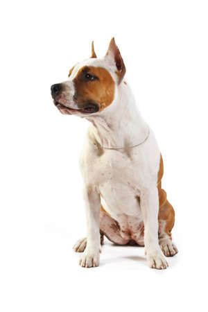 pit bull: American Staffordshire terrier puppy  4 months  in front of a white background