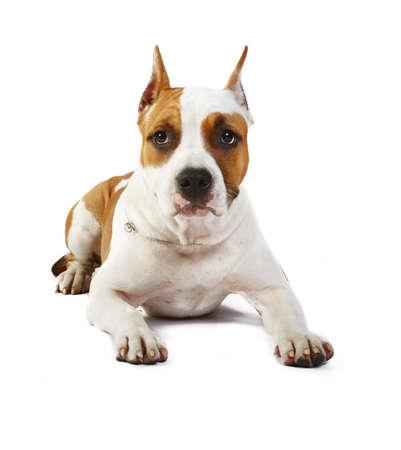 Staffordshire アメリカのテリアの子犬、白い背景の前に 4 ヶ月