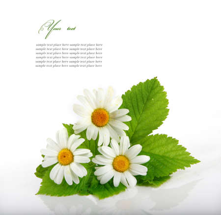 Daisy flowers in white background  selective DOF   Stock Photo - 13001721