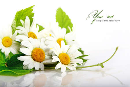 Daisy flowers in white background  selective DOF