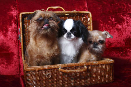 The group of dogs  Two of the Brussels Griffon, Japanese Hin photo
