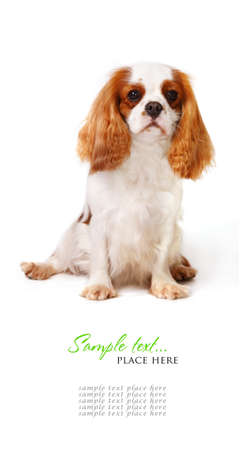 Cavalier King Charles Spaniel Banque d'images