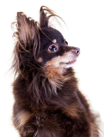 Close-up portrait of old pedigree dog long-haired toy terrier on isolated white background  photo
