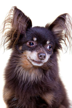 toyterrier: Close-up portrait of old pedigree dog long-haired toy terrier on isolated white background