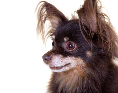 toy terrier: Close-up ritratto di vecchio pedigree cane a pelo lungo toy terrier isolato su sfondo bianco Archivio Fotografico