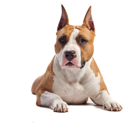 staffordshire: American Staffordshire Terrier isolated on white background
