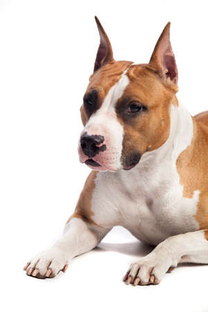 frendship: American Staffordshire Terrier isolated on white background