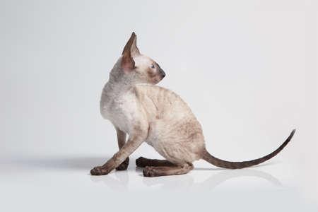 rex: Cornish Rex kitten isolated on white background Stock Photo